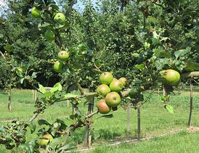 pommes du verger du village vacances relais du moulin neuf